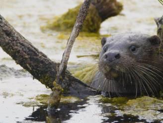 """GroenRand roept 2021 uit tot 'jaar van de otter': """"Hét symbool van ecologisch herstel"""""""