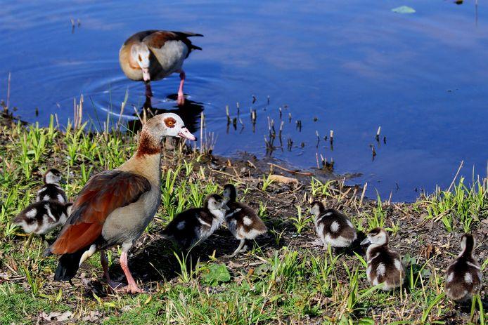 Nijlgans met kuikens op een vijver bij Wierden
