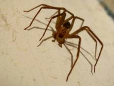 """Un Belge mordu par une araignée violoniste: """"Cela pouvait mener à une amputation"""""""
