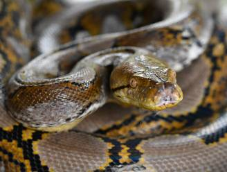 Drie meter lange python ontsnapt in Duitsland