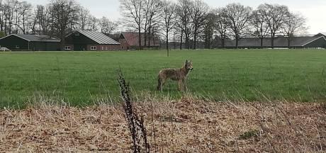 Twente is een prima leefgebied voor wolf: 'Schaap is slechts een snack voor onderweg'