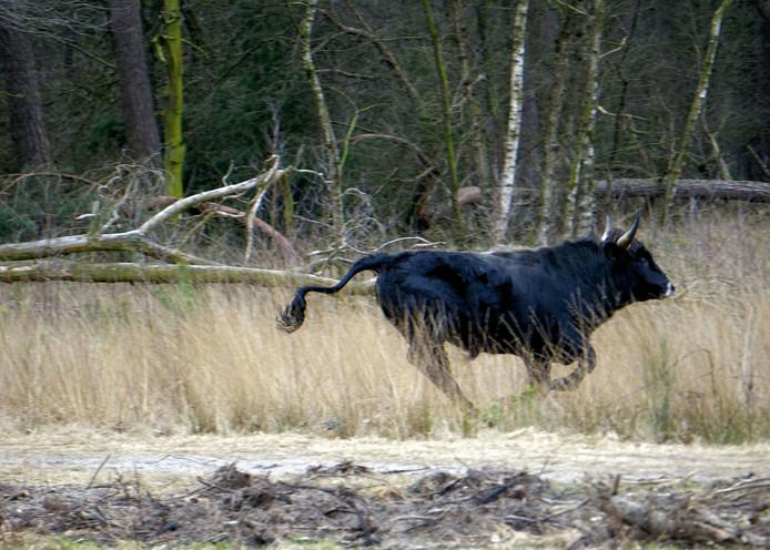 Een rennende taurosstier, in de Maashorst gefotografeerd door bezoekster uit Uden.