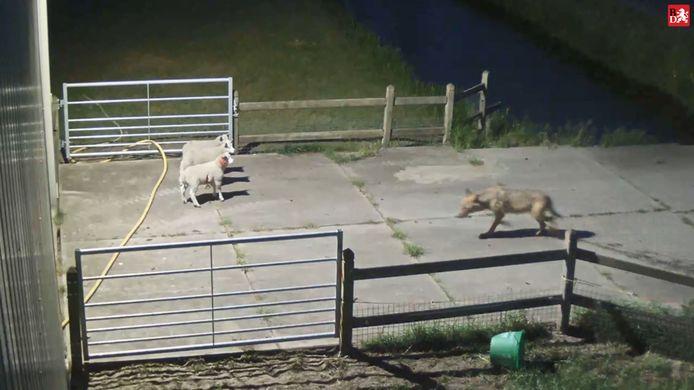 Een wolf slaat toe bij een schapenhouder in Brabant. Op beelden van een bewakingscamera is te zien hoe de wolf de schapen opjaagt.