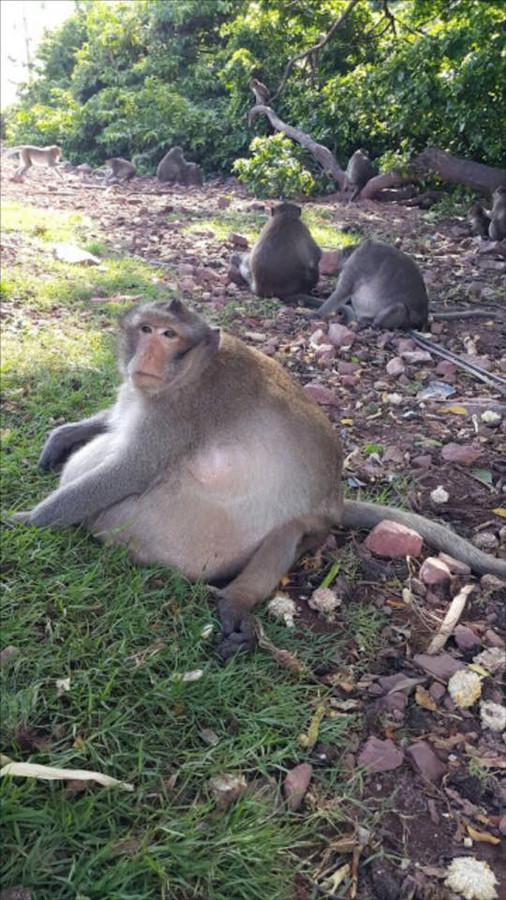 De dikke aap moet ongeveer de helft van zijn lichaamsgewicht verliezen.