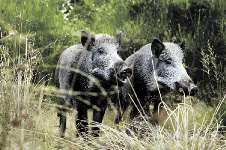 Wilde zwijnen aan de rand van het bos bij Vierhouten. In de volksmond worden zulke tamme dieren ook wel 'VVV-zwijntjes' genoemd. (FOTO ERIK VAN 'T WOUD, ANP) Beeld