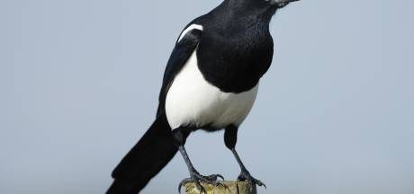 76-jarige Australiër vlucht voor agressieve vogel en sterft