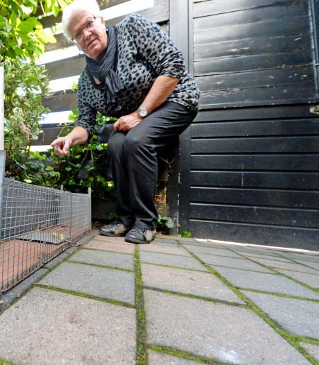 Enschedese wijk Wesselerbrink kent ware rattenplaag: 'Hij liep zo over mijn voeten'