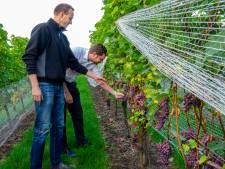Druivenpluk Groesbeek in volle gang: oogst dit jaar wat minder