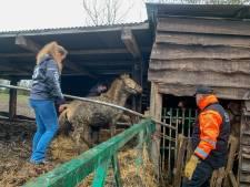 Sauvetage compliqué de deux juments et de leurs poulains à Sprimont: ils (sur)vivaient dans leurs excréments