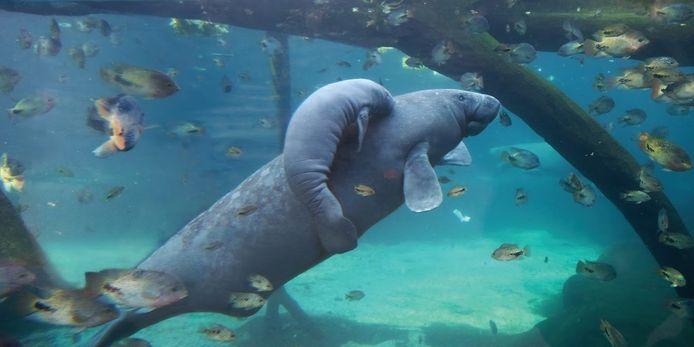De jonge zeekoe van Burger's Zoo is overleden.