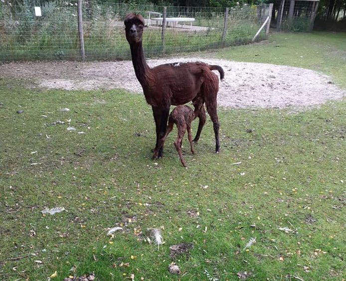 Deze pasgeboren alpaca gaat voortaan door het leven als Nina, vernoemd naar de Truiense Nina Derwael.