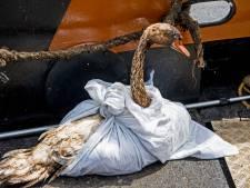 Ook in Den Haag worden met olie besmeurde zwanen binnengebracht