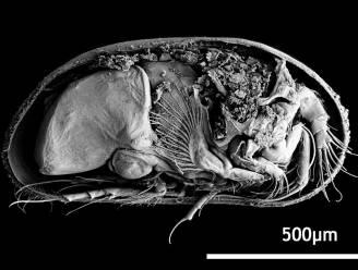 Oudste penis ter wereld gevonden: 100 miljoen jaar oud