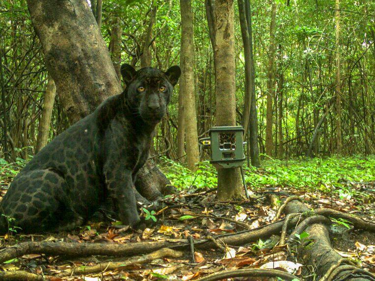 Een zwarte jaguar, foto gemaakt door de cameraval. Beeld Noel van Bemmel