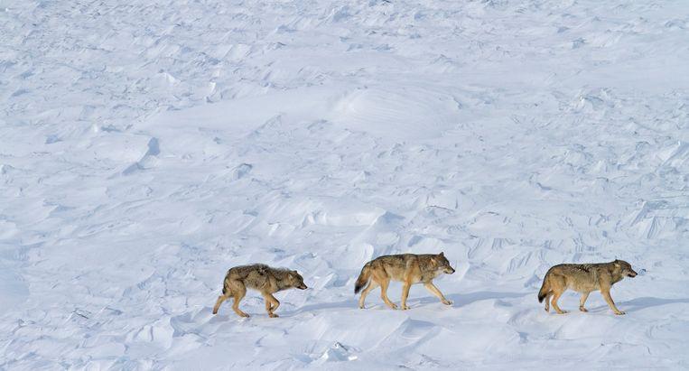 Luchtfoto uit 2015 van de laatste wolven van het eiland. Beeld AP
