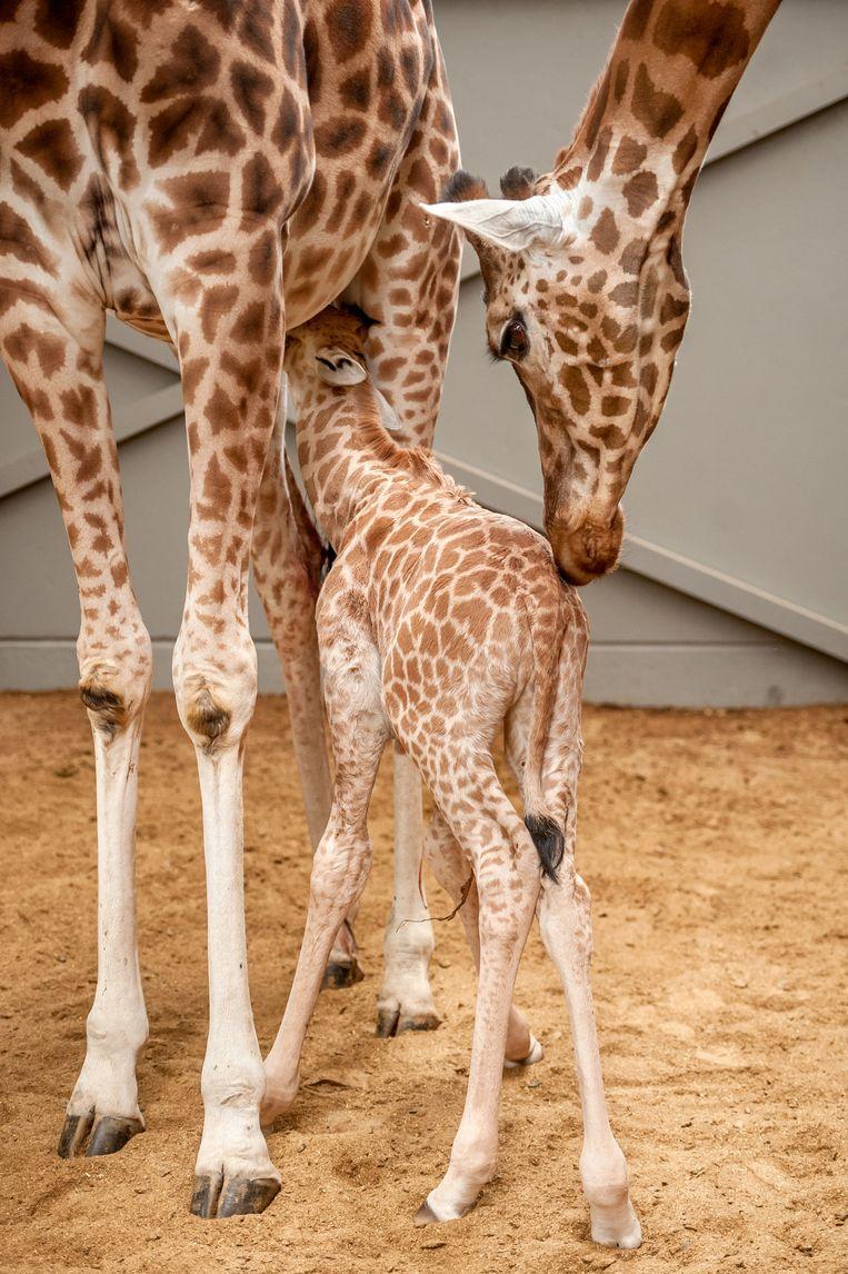 Splinternye Giraf werpt grootste baby ooit | Mechelen | In de buurt | HLN RJ-43