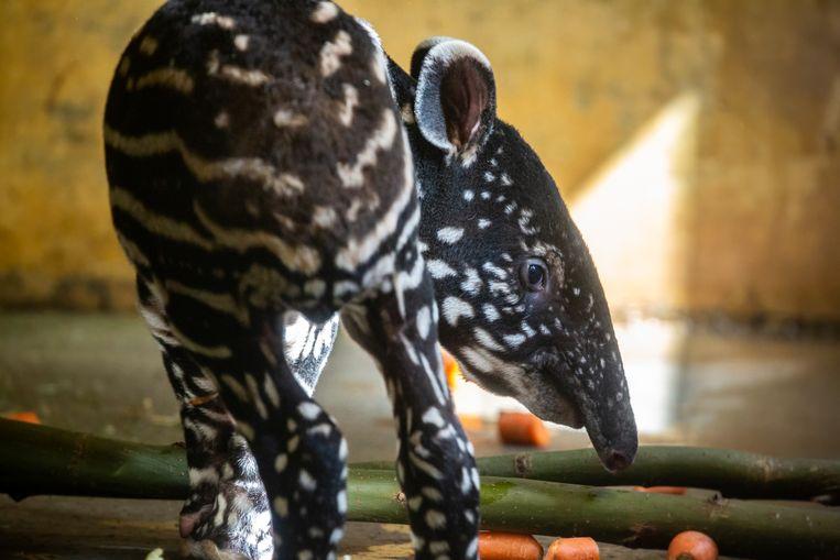 De jonge tapir.