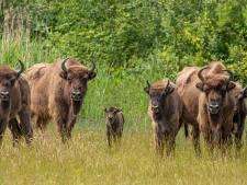 Kudde wisenten (mét drie kalfjes) vanaf volgende week op avontuur in Slikken van de Heen