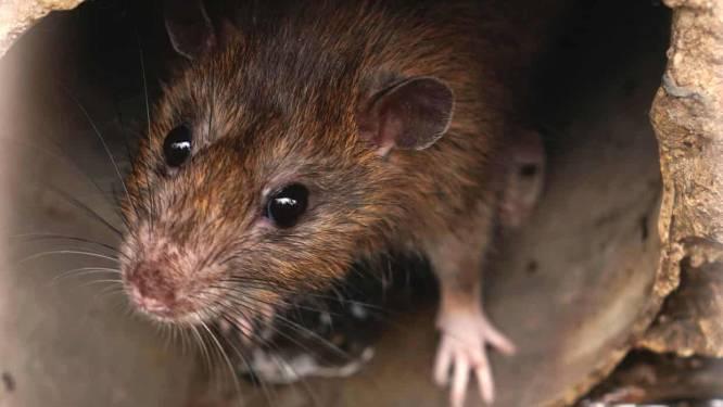 Knagende rat boosdoener bij grote stoomstoring die Flevolandse gezinnen in de kou zette