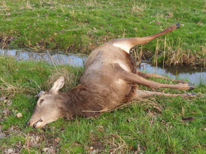 Dood edelhert aangetroffen in De Scheeken bij Oirschot