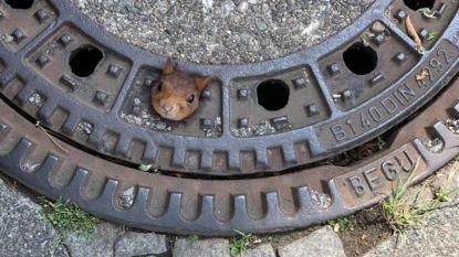 Wat komt daar nu uit riooldeksel piepen? Eekhoorntje bevrijd uit hachelijke situatie