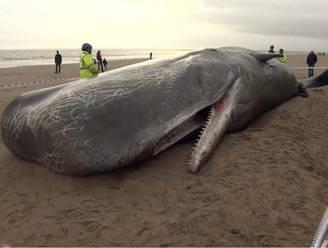 Vijf potvissen aangespoeld in Engeland