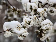 Schijnbloesem: aprilletje zoet heeft weleens een witte hoed