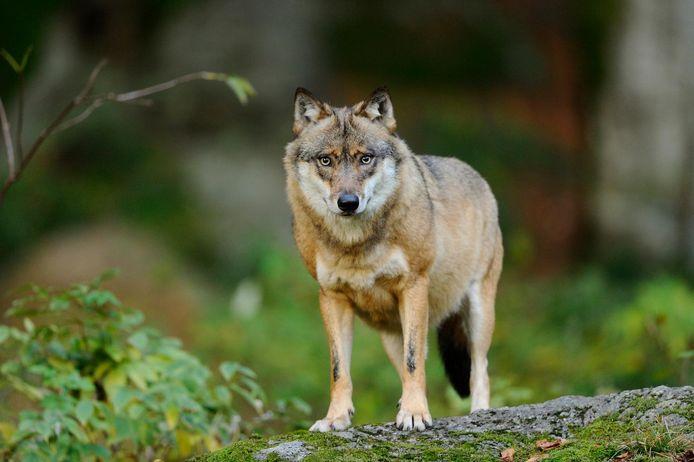Beeld ter illustratie. De subsidies worden enkel ingezet in de gemeentes waar de wolf actief kan zijn.