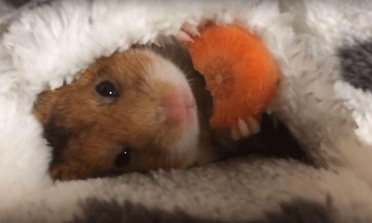 Deze hamster knabbelt aan een wortel en dat is écht heel schattig