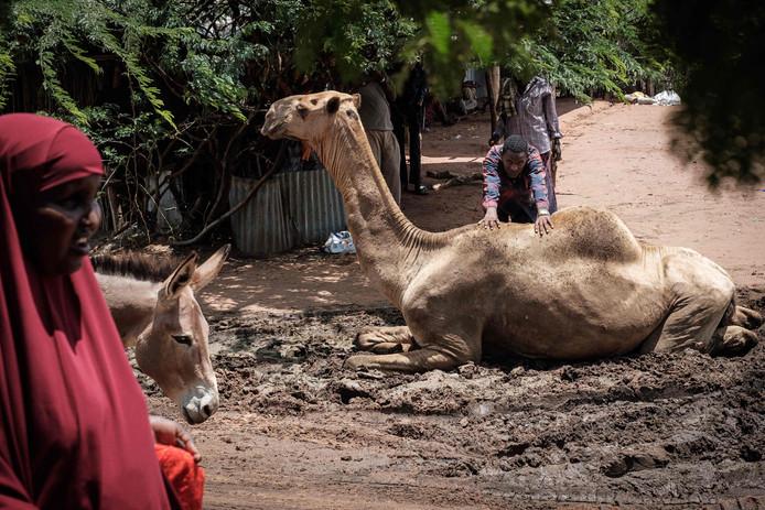 Een man tracht een kameel, die een modderbad neemt, van de weg te duwen, in de buurt van de kamelenmarkt in het vluchtelingencomplex Dadaab, ten noordoosten van Kenia. Foto Yasuyoshi Chiba