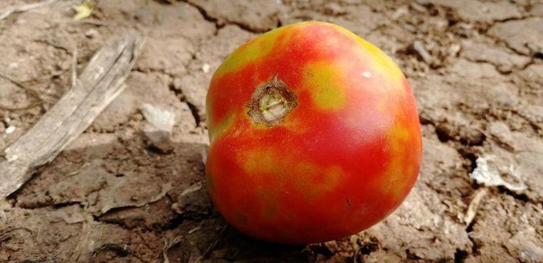 Een tomaat die wél besmet is met het Tomato Brown Rugose Fruit Virus.  Beeld