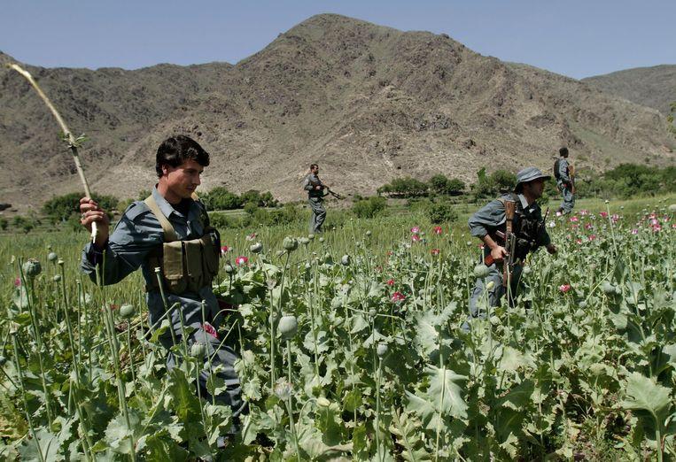 Archiefbeelden: Afghaanse politieagenten vernietigen een opiumpapaverveld in Noorgal. Beeld AP