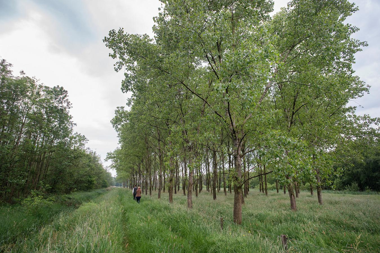 De populieren rechts zijn restanten van de landbouw-periode. Links een ontoegankelijk stuk rivierbos.