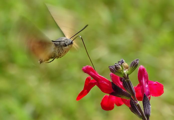 Een nieuwsgierig geluid trok fotograaf Thomas Easterbrook naar deze kolibrie. Hij keek toe hoe het voor een salvia-bloem zweefde en de nectar dronk met zijn lange stro-achtige proboscis.