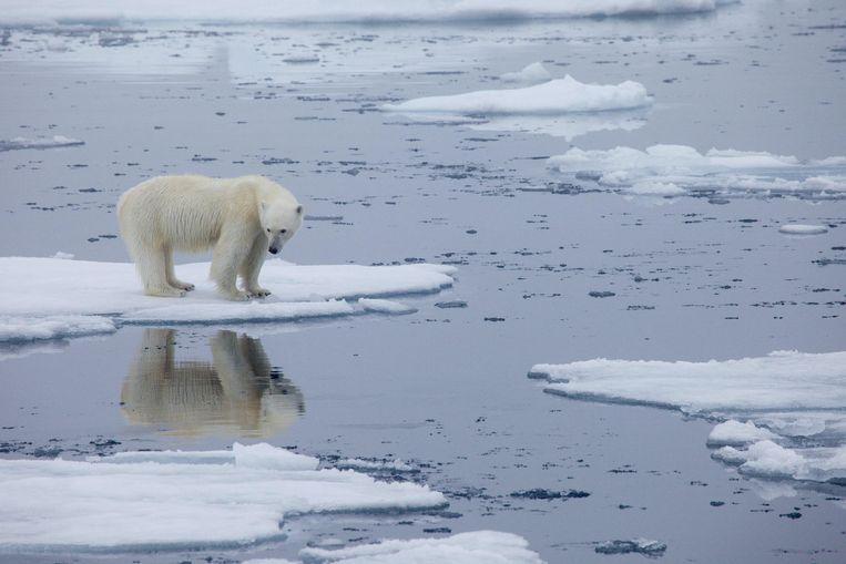 Een ijsbeer op het smeltende ijs in Spitsbergen, Noorwegen, in 2013. Beeld AFP