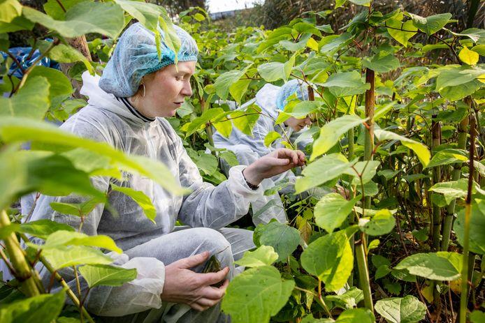 Biologe Suzanne Lommen (rechts) zet met een collega de Japanse bladvlo uit.