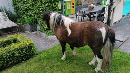 Loslopende shetlandpony naar paardentehuis gebracht, eigenaars na maand nog niet opgedaagd