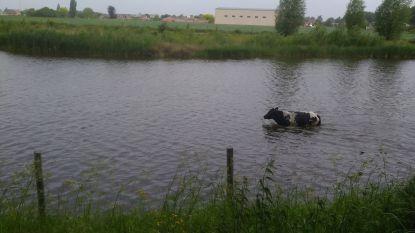 Opnieuw koeien uitgebroken aan Drijdijk: defecte pomp voor drinkwater blijkt oorzaak