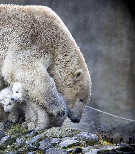Blijdorp in rouw: 20 kilo zware tumor wordt ijsbeer Olinka fataal