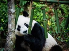 Les pandas prêtés par la Chine iront à Pairi Daiza