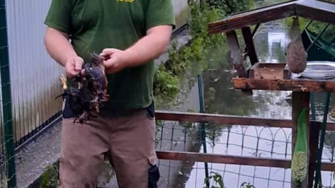 Kippen overleven watersnood langs Reedijk niet