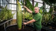 Opnieuw stinkplant in bloei in Plantentuin