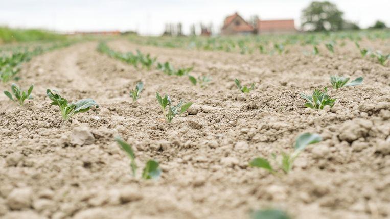 Ook de landbouw kreunt onder de aanhoudende droogte. Beeld Henk Deleu