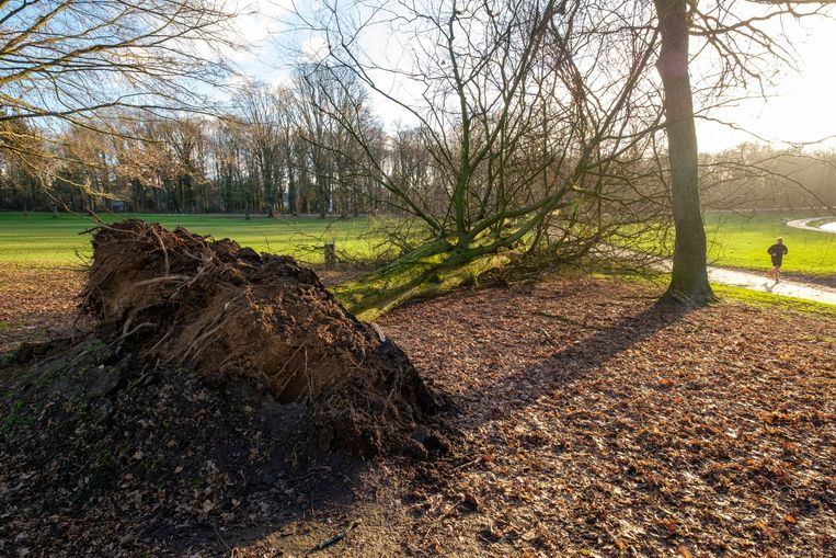 Een omgewaaide boom in Brussel. Beeld Photo News