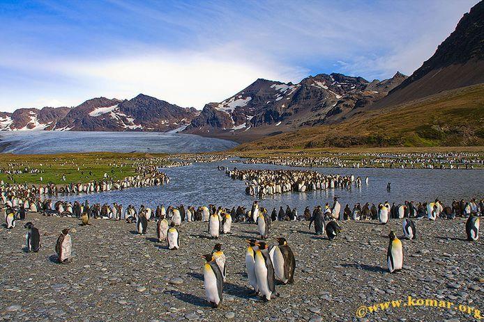 Veel pinguïns op South Georgia dreigen een hongerdood te sterven.