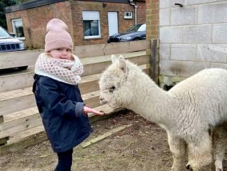 Kinderen met hersenverlamming kunnen alpaca's ontmoeten dankzij vzw: Collette (5) geeft startschot nieuw project