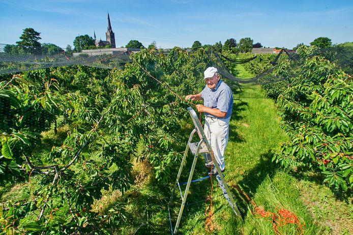 Jo van Houtum knoopt netten over zijn kersenbomen aan de Aabrugstraat te Heeswijk-Dinther.