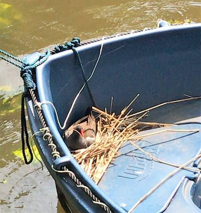 Waterhoen Dennis nestelt veilig in een boot in Breda