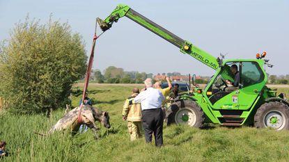 Brandweer redt koe uit hachelijke positie