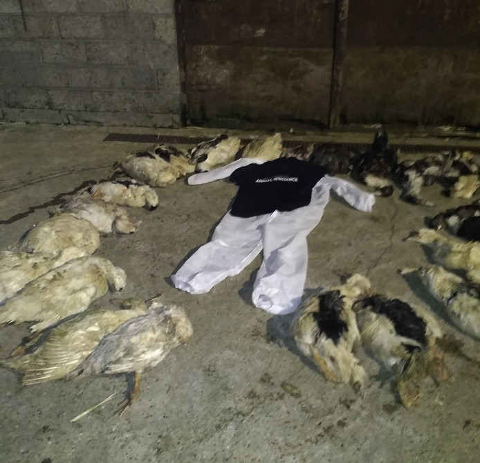 Al 183 eenden lieten na de inval het leven